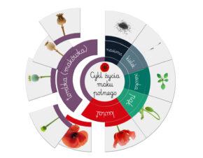 Cykl życia maku