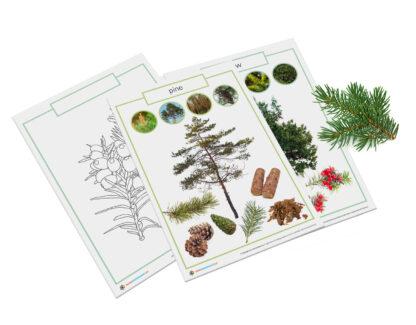 Montessori coniferous